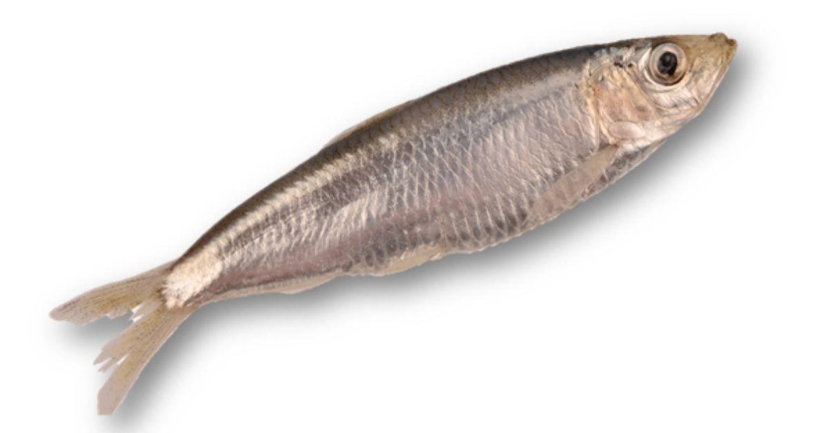 Sprat fish since the coaching model is...ya know... SPRAT