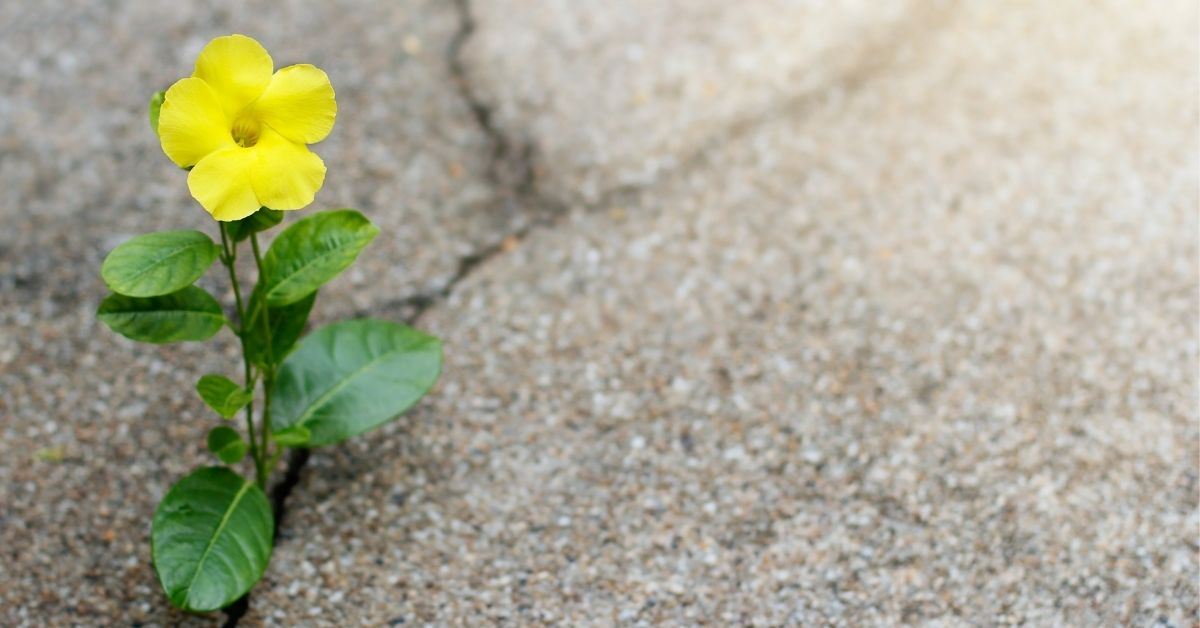 yellow flower growing out of sidewalk crack